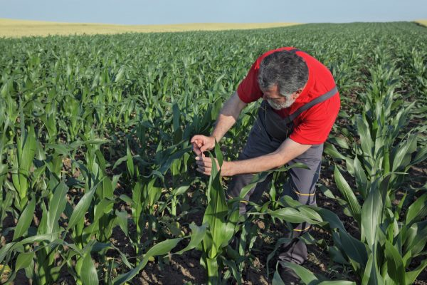 Agriculture, farmer photographing corn plant in field